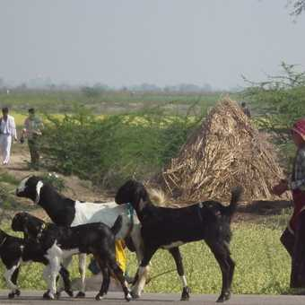 rajahstani scene