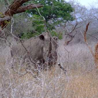 Rhino during game walk
