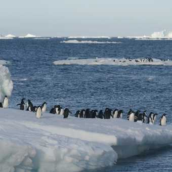 Adelies on Ice