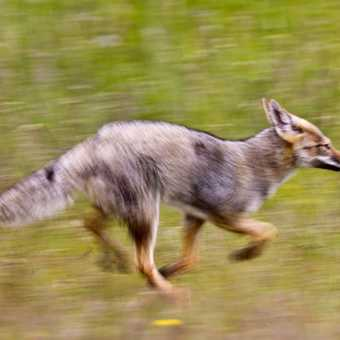 South American Gray Fox Hunting, Patagonia