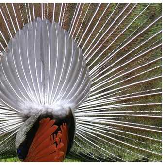 peacocks behind