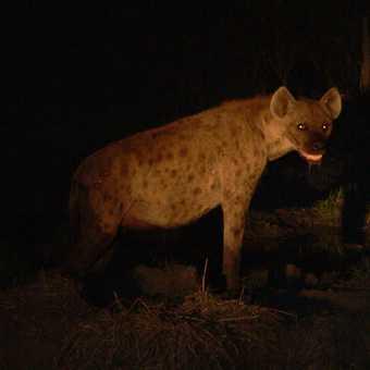 Hyaena at night