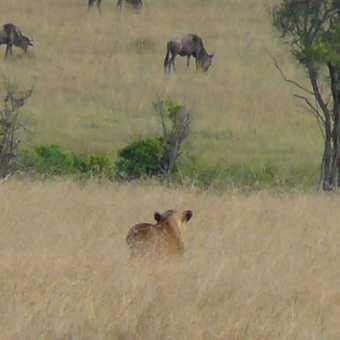 Lioness stalking wildebeest, masai mara game reserve, Kenya