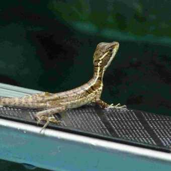 Bascillica Lizard