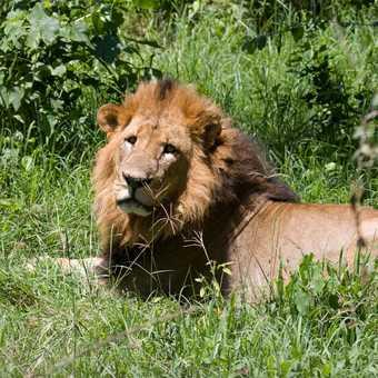 Lion, Lake Nakuru