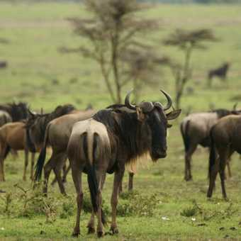 Typical scene in the Masai Mara - the gathering of the wildebeest herds during the migration.