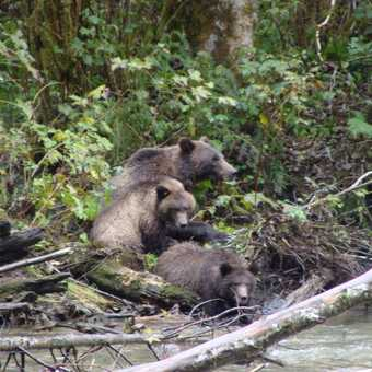 Grizzly mum and 2 cubs
