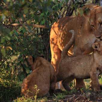 Lioness and Breakfast