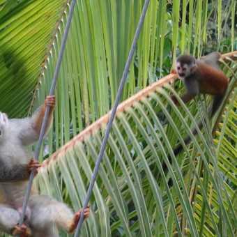 Spider monkeys in Manuel Antonio