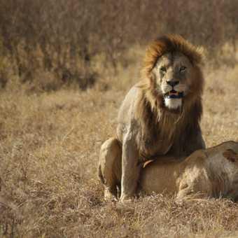 Lions, Ngorogoro Crater