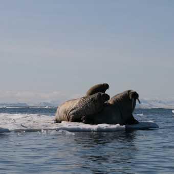 Three Walrus