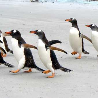 Gentoo penguins at Carcass Island, Falklands