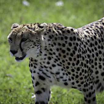Approaching cheetah