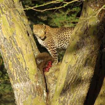 Leopard with kill, Nakuru National Park, Kenya