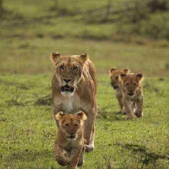Cheli pride lioness and cubs - Mara North
