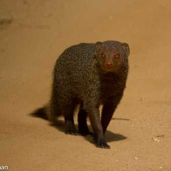 At Last a Mongoose not running away