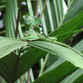 Emerald Jesus Christ Lizard
