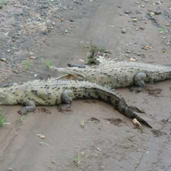 Iguana, Manuel Antonio