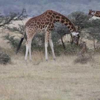 I'm down here mummy! (Rothschild Giraffe)
