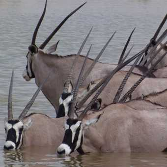 Oryx at the waterhole