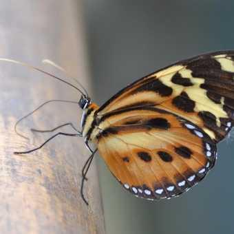 Butterfly - Iguassu Falls