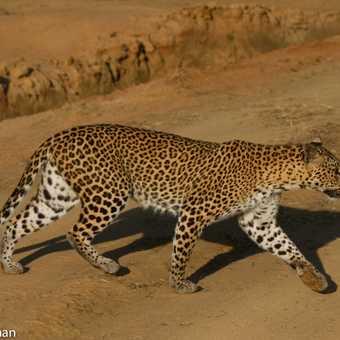 Leopard on road
