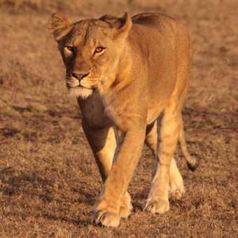 Prowling the Mara