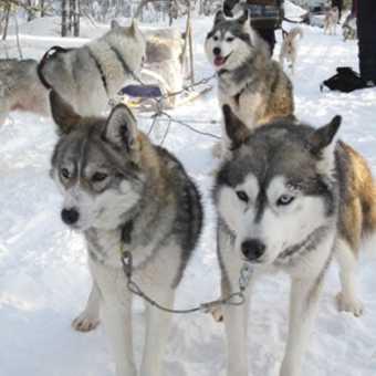 Huskies pulling sledge.