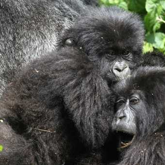 2 x Gorilla