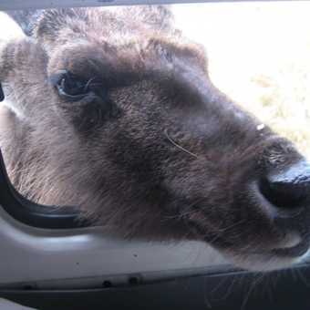 Want my close up snap? Curious Samber deer at Horton Plains park entrance gate