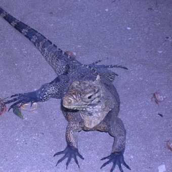 The Iguanas of Cayo Macho