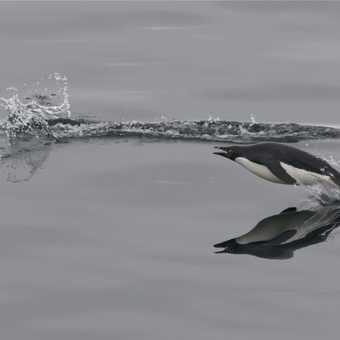 Jumping Adelie Penguin - Antarctic Sound
