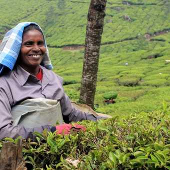 Tea collecter