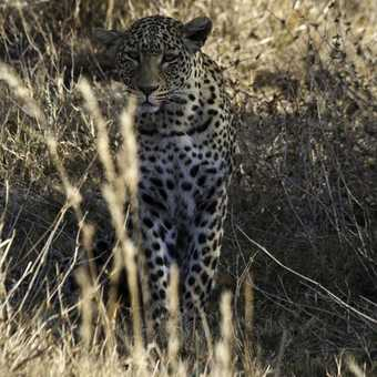 Great spotting ! Leopard, driving Nxai Pan to Magadigadi