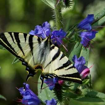 Butterflies -Scarce Swallowtail
