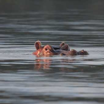 Rhino, Lake Nakuru