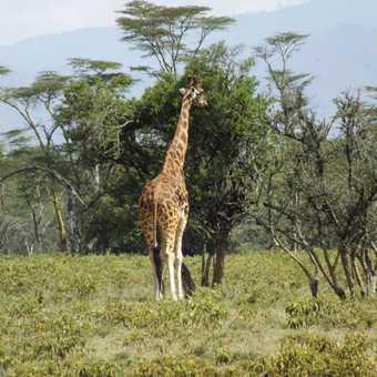 Rothschild's giraffe in lake nakuru national park k