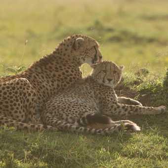 Cheetah grooming her lone cub