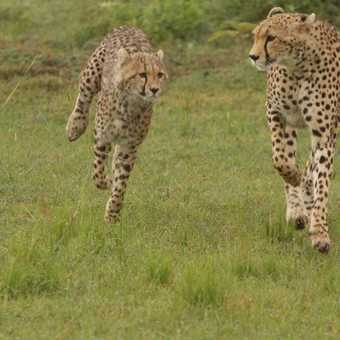 Cheetah and cub running