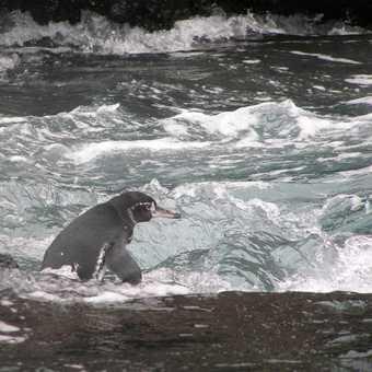 Galapagos penguin taking the plunge
