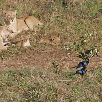 Lion pride and cubs keep a watchful eye on teh starlings