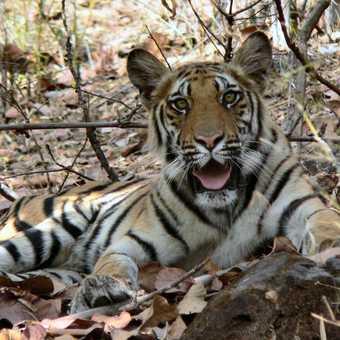 15 month old Tiger