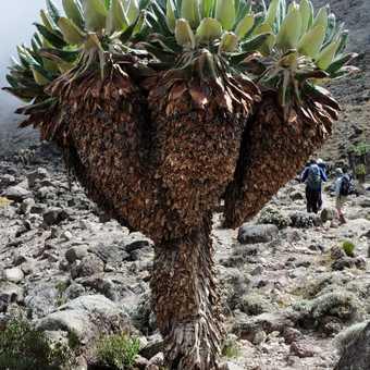 Groundsel tree