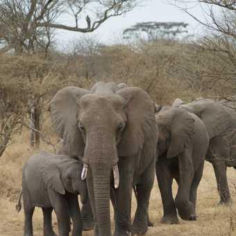 Elephants, Serengeti NP