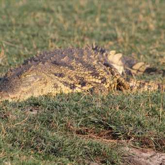 Crocodile, Chobe River