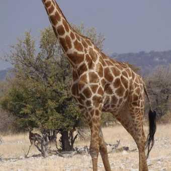 Giraffe having a long look