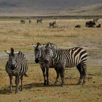 Zebra flash (Serengetti)