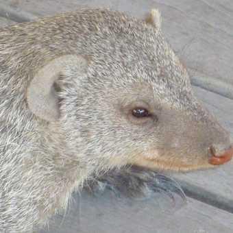 Portrait of a Mongoose