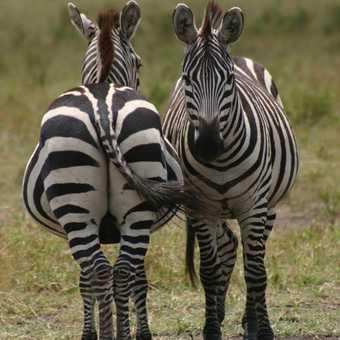zebra, masai mara