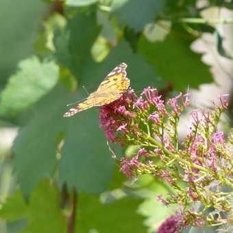 So many butterflies on the Amalfi coast